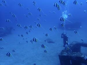 魚礁のムレハタタテダイたち♥