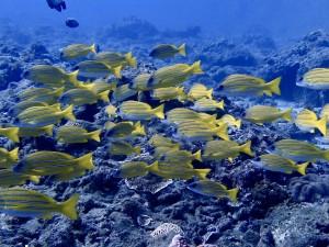 透明度いい海に映えるヨスジフエダイ。時化後で会えるか心配だったウミガメも2匹に遭遇♪