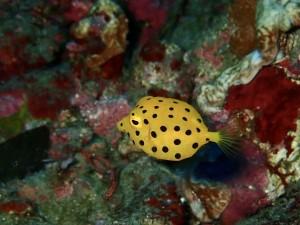 今、ミナミハコフグ幼魚のサイズが豊富です☆(1cm未満から5cm!)
