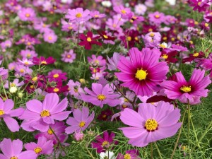 今年もキレイに咲いてます。