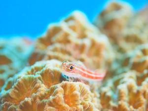 タテスジヘビギンポ。ほわんとかわいらしい写真。