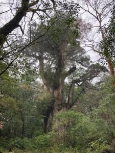 雨の縄文杉。