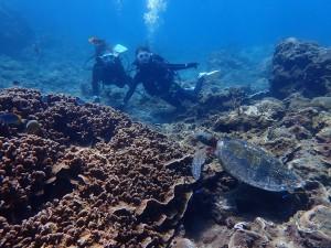 潜ってすぐに出会えたウミガメ。